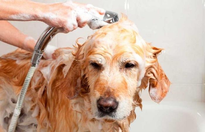 Применение шампуня от блох
