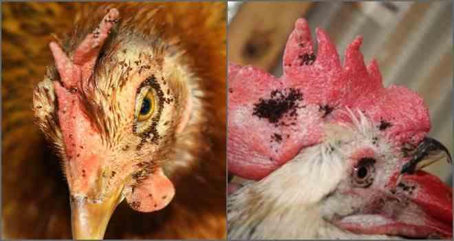 Скопление блох на курице