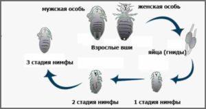 Полный цикл развития вши