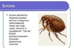 Заболевания от блох