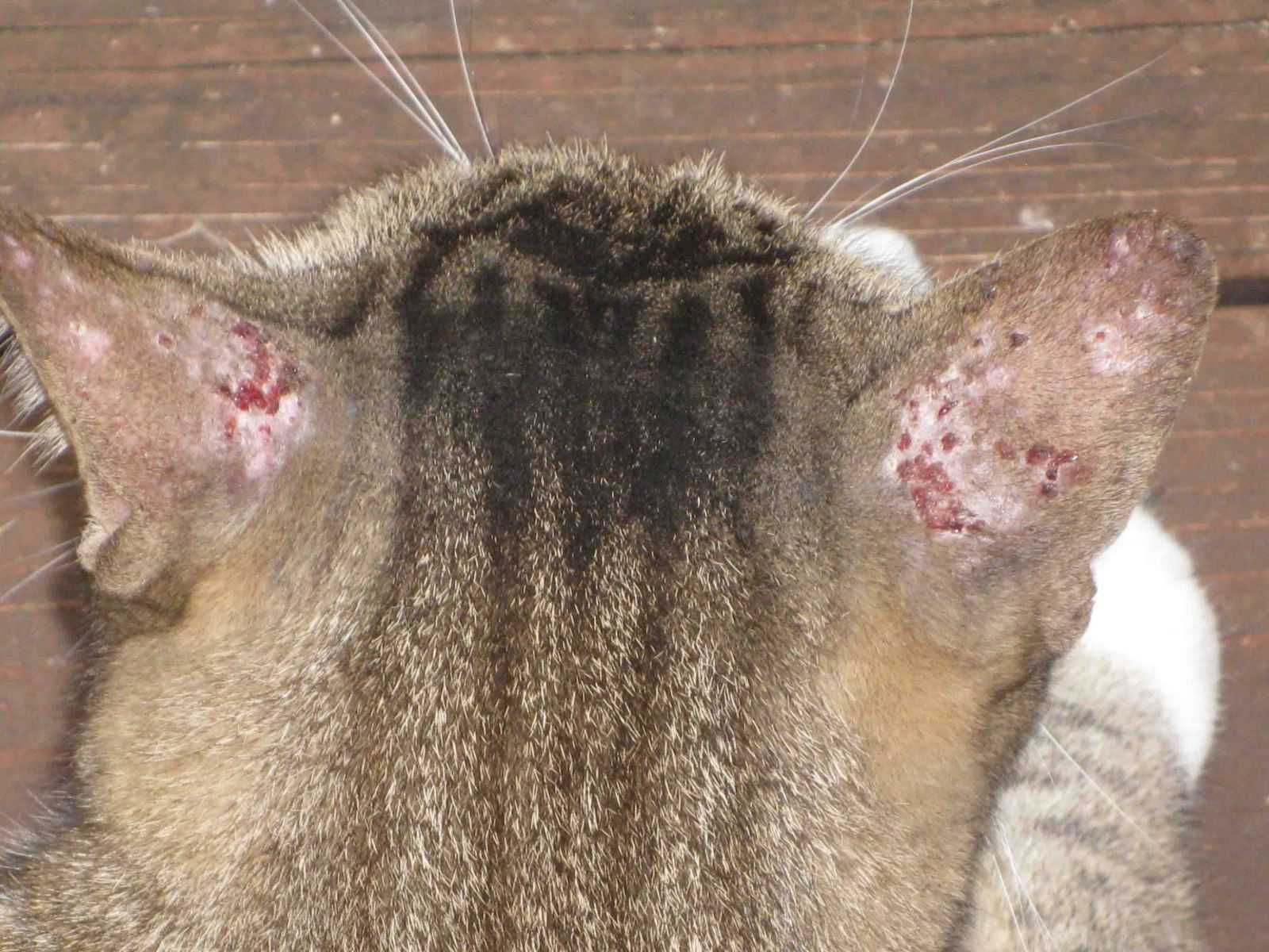 Аллергия на блох