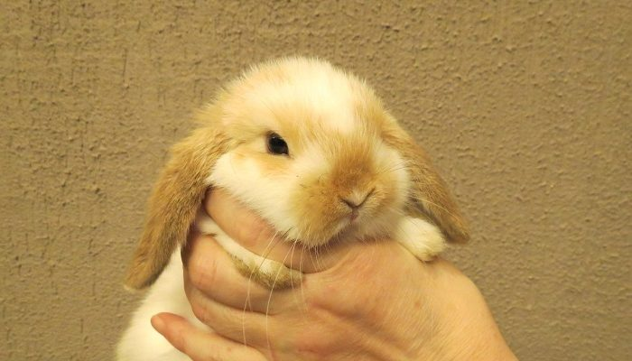 блохи у кролика декоративного